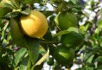 Rüyada Ağaçtan Limon Toplamak