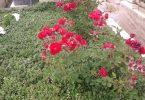 Rüyada Mezarlığa Çiçek Dikmek
