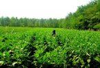 Rüyada Patlıcan Tarlası Görmek
