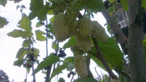Rüyada Ağaçta Beyaz Dut Yemek