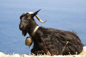 Rüyada Siyah Keçi Avladığını Görmek