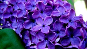 Rüyada Mor Çiçek Topladığını Görmek