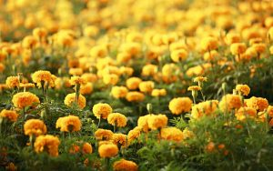 Rüyada Sarı Çiçek Toplamak