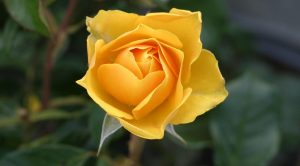 Rüyada Sarı Gül Görmek