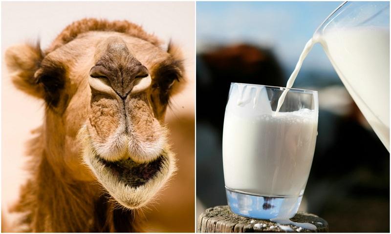 Rüyada Devenin Göğsünden Süt Sağmak