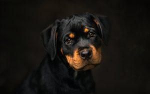 Rüyada Siyah Yavru Köpek Zıplaması Görmek