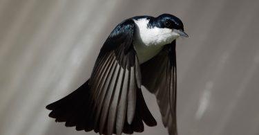 Rüyada Taklacı Güvercin Görmek