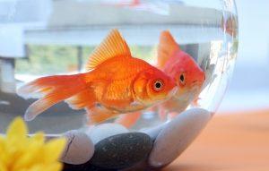 Rüyada Japon Balığı Görmek
