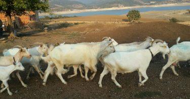 Rüyada Keçi Koyun Sürüsü Görmek