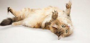 Rüyada Kedi Saldırması Kovalaması