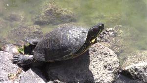 Rüyada Su Kaplumbağa Yavrusu Görmek