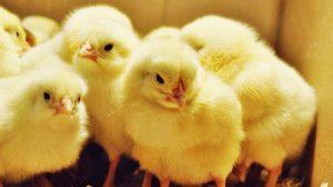 Rüyada Sarı Civcivin Öldüğünü Görmek