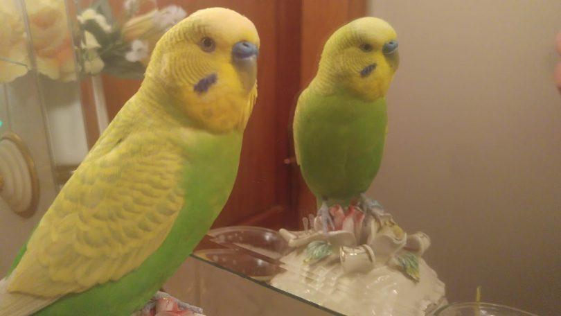Rüyada Sarı Muhabbet Kuşu Görmek