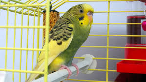Rüyada Sarı Muhabbet Kuşu Öttüğünü Görmek