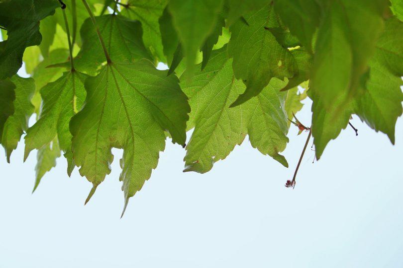 Rüyada Yeşil Asma Yaprağı Toplamak