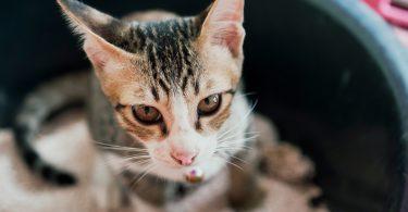 Rüyada Kedi Kakası Görmek
