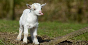 Rüyada Beyaz Keçi Yavrusu Görmek