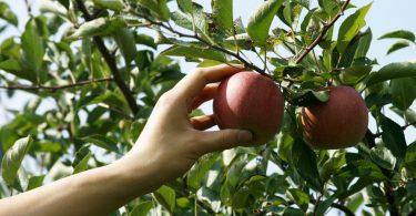 Rüyada Elma Ağacından Elma Toplamak