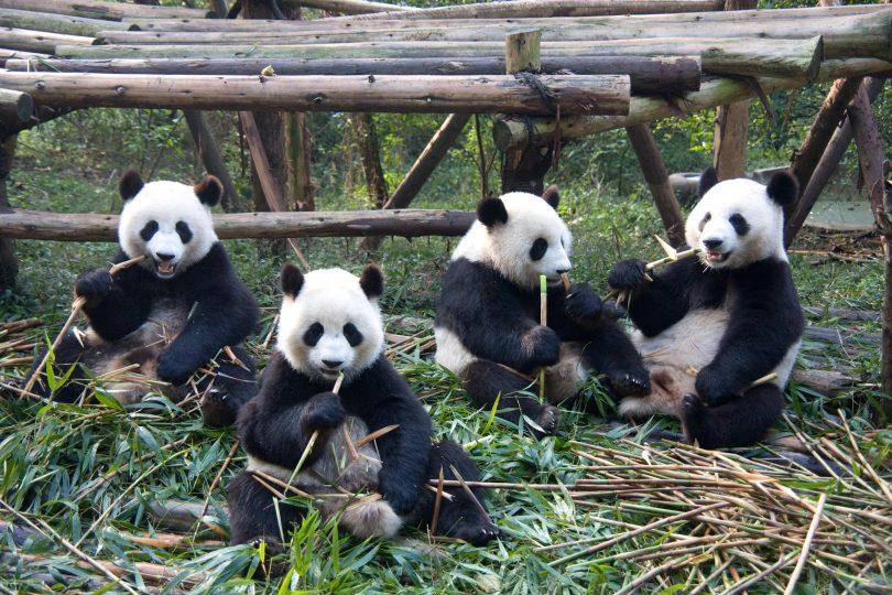 Rüyada Panda Yavrusu Görmek