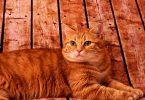 Rüyada Kırmızı Kedi Görmek