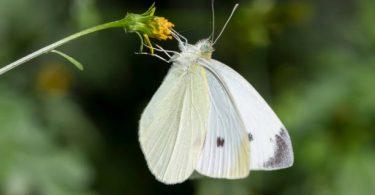 Rüyada Beyaz Kelebek Görmek
