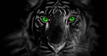 Rüyada Siyah Kaplan Görmek