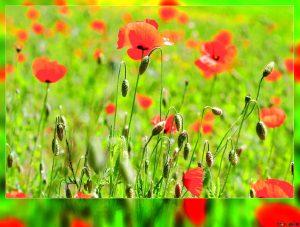 Rüyada Kırmızı Çiçekler Görmek
