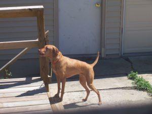 Rüyada Kahverengi Köpek Görmek