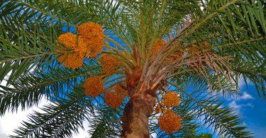 Rüyada Hurma Ağacı Görmek