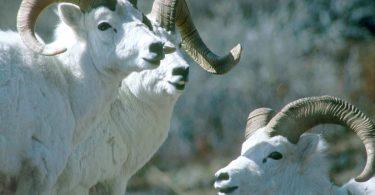 Rüyada Koyun Kesildiğini Görmek